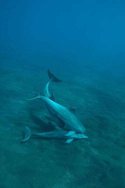 dauphins ile de la reunion